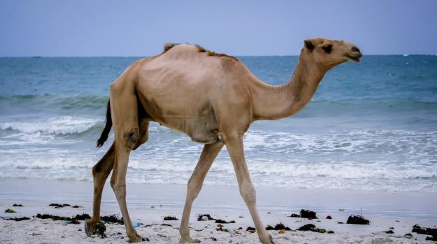 camel-2697605_1920